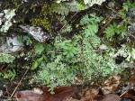 Hot Springs National Park Trails HSMT Rock Lichen Moss ferns