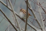 Hot Springs National Park Trails White Throated Sparrow