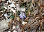 Hot Springs National Park Goat Rock Trail Wild Flower Lavender