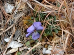 Hot Springs National Park Goat Rock Trail Wild Flower Violet