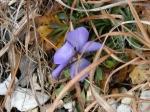 Hot Springs National Park Goat Rock Wild Flower Violet