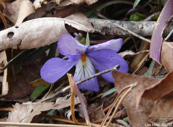 Hot Springs National Park Goat Rock Trail Birds-Foot Violet