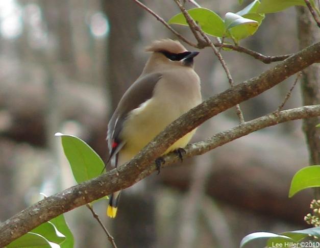 Hot Springs National Park Honeysuckle Trail Cedar Waxwing