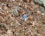 Hot Springs National Park Trail Mountain Trail Blue Jay