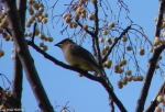 Hot Springs National Park Tree Promenade Cedar Waxwing