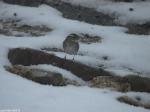 Hot Springs National Park Snow Short Cut Trail Sparrow