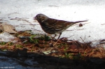 Hot Springs National Park Trails HSMT Fox Sparrow