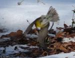 Hot Springs National Park HSMT Pine Warbler and Sparrow