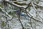 Hot Springs National Park Trails HSMT Blue Jay