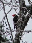 Hot Springs National Park Pileated Woodpecker On Ice