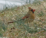 Hot Springs National Park Trails Pagoda Female Cardinal