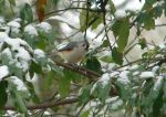 Hot Springs National Park Tufted Titmouse In Snowy Tree