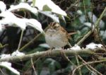 Hot Springs National Park White-Throated Sparrow Snow