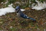 Hot Springs National Park Pagoda Blue Jay
