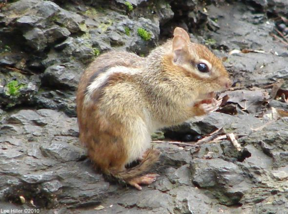 Hot Springs National Park Trails Tufa Terrace Chipmunk