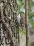 Hot Springs National Park Brown Creeper