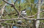 Hot Springs National Park Trails Carolina Chickadee