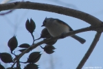 Hot Springs National Park Trails Tufted Titmouse