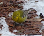 Hot Springs National Park Black-Throated Green Warbler