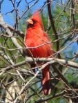 Hot Springs National Park Trails HSMT Male Cardinal