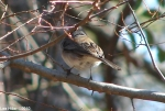 Hot Springs National Park Short Cut Trail Female Junco