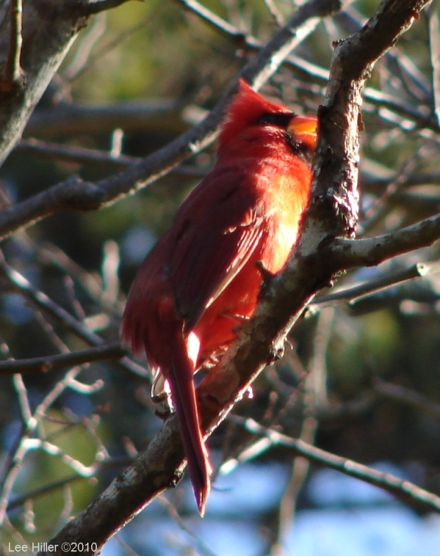 Hot Springs National Park Dead Chief Trail Male Cardinalal