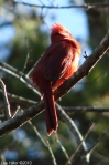 Hot Springs National Park Dead Chief Trail Male Cardinal