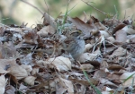 Hot Springs National Park White Throated Sparrow