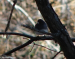 Hot Springs National Park Trails HSMT Slate-Colored Junco