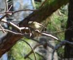 Hot Springs National Park Short Cut Trail Huttons Vireo
