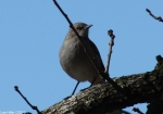Hot Springs National Park Carriage Rd Northern Mockingbird