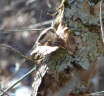 Hot Springs National Park Honeysuckle Trail Brown Creeper