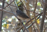 Hot Springs National Park HS Mt. Trail Slate Colored Junco