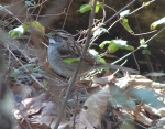 Hot Springs National Park HSMT White Throated Sparrow