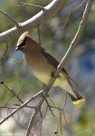 Hot Springs National Park Pagoda Cedar Waxwing