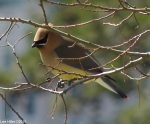 Hot Springs National Park Pagoda Cedar Waxwing Red Tail