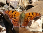 Hot Springs National Park Question Mark Butterfly