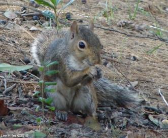 Hot Springs National Park Tufa Terrace Squirrel