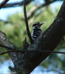 Hot Springs National Park Downy Woodpecker