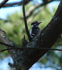 Hot Springs National Park Downy Woodpecker