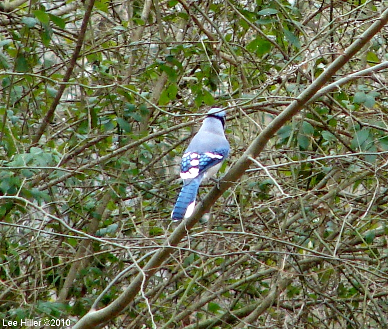 Hot Springs Mountain Trail Blue Jay