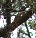 Hot Springs Mountain Top Red Bellied Woodpecker