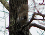 Hot Springs Mountain Trail Brown Squirrel
