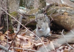 Hot Springs Mountain Trail Gray Squirrel
