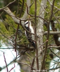 Goat Rock Trail Female Downy Woodpecker