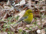 Goat Rock Trail Black-Throated Green Warbler