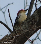 Goat Rock Trail Middle Red Bellied Woodpecker