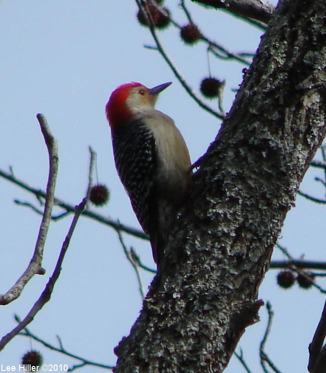 Goat Rock Trail Middle Red Bellied Woodpecker