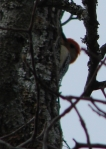 Goat Rock Trail Top Red Bellied Woodpecker