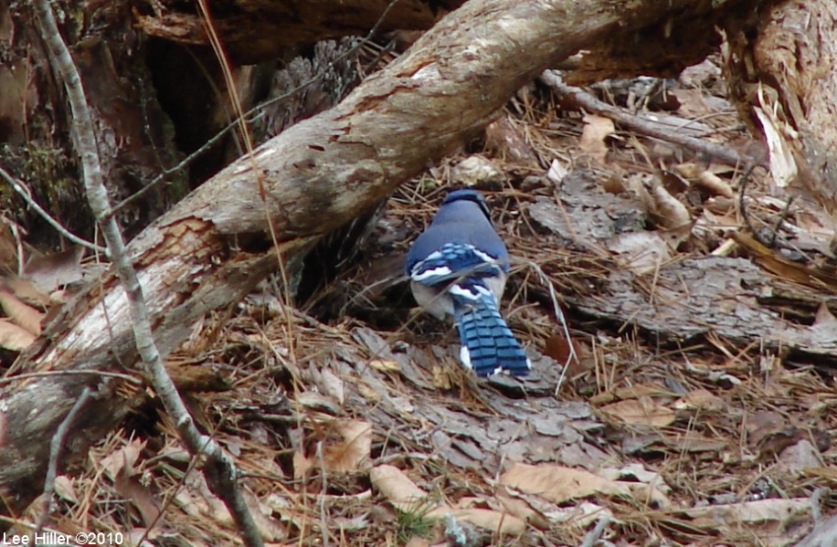 Hot Springs National Park Gulpha Gorge Trail Blue Jay